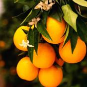 Orange Vanilla